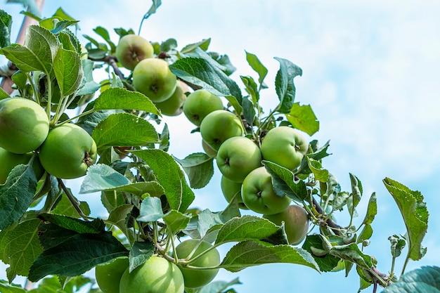 晴れた夏の日にリンゴ園の木の枝からぶら下がっている有機緑の未熟で熟したリンゴ。自家製、ガーデニング、農業の概念。テキスト用のスペースをコピーします。