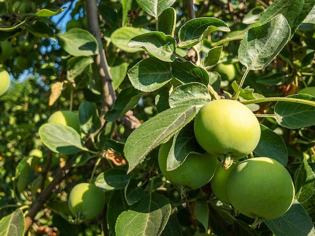 晴れた夏の日にリンゴ園の木の枝からぶら下がっている有機緑の未熟で熟したリンゴ。自家製、ガーデニング、農業の概念。