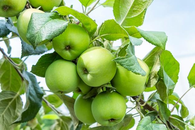 Органические зеленые незрелые и спелые яблоки, свисающие с ветки дерева в яблоневом саду в солнечный летний день.