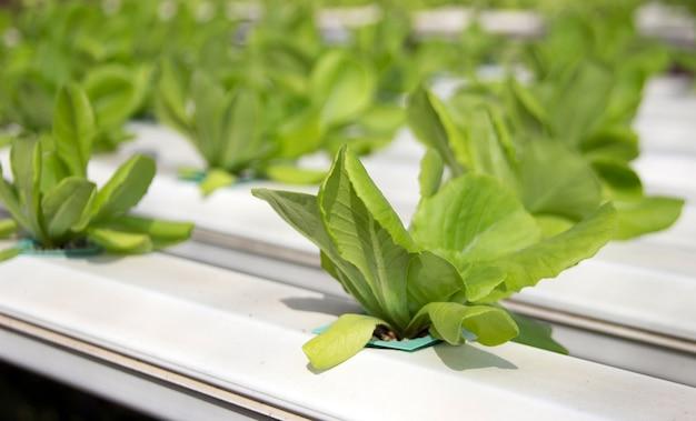 Органический зеленый овощ в пластиковой трубе гидропонной концепции