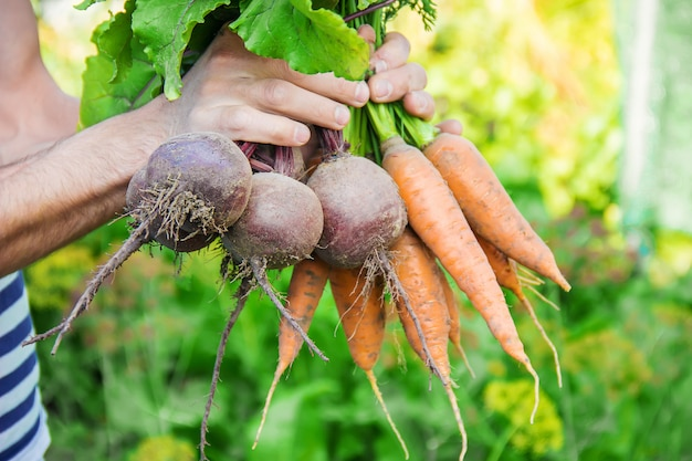 Organic homemade vegetables in the hands of men.