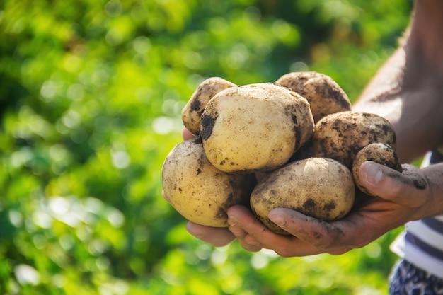 Органические домашние овощи в руках мужского картофеля.