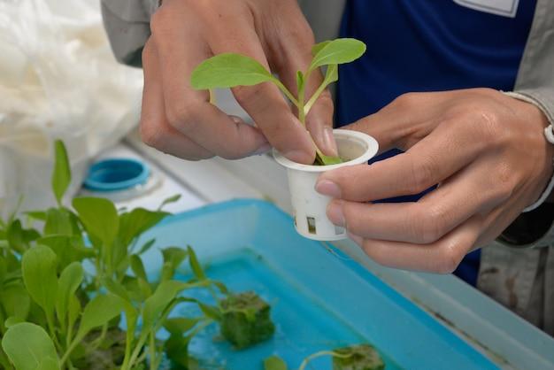 손에 유기농 수경 야채. 보육 사업을 시작하십시오. 프리미엄 사진