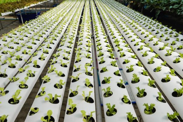 유기농 수경 야채. 보육 사업을 심기. 프리미엄 사진