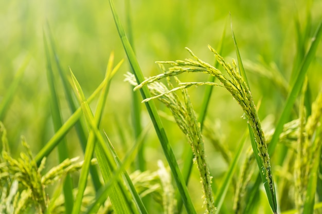 Organic jasmine paddy rice at harvest