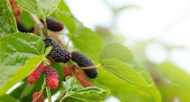 유기농 뽕나무 과일 나무와 녹색 잎. 나무의 가지에 검은 익은 붉은 설익은 뽕나무. tree.fresh 뽕나무에 있는 붉은 보라색 뽕나무는 섬유질과 영양소를 매우 유익하게 제공합니다.