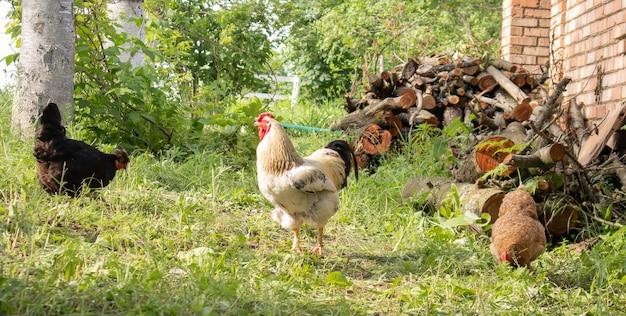 시골을 배회하는 유기농 천연 빨간색과 흰색 소박한 닭. 닭은 전통적인 앞마당에서 먹습니다. 헛간 마당에 있는 암탉의 클로즈업. 가금류 개념입니다.