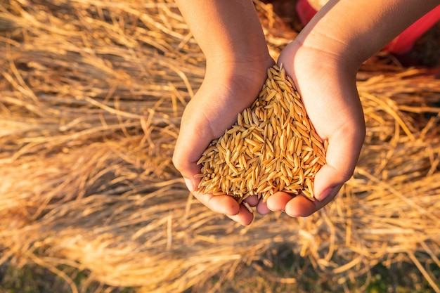 Organic paddy in hands