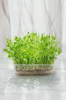 白い背景のプラスチックの箱で成長している有機エンドウ豆のマイクログリーンの芽。生の芽、マイクログリーン、健康食品のコンセプトをフラッシュ