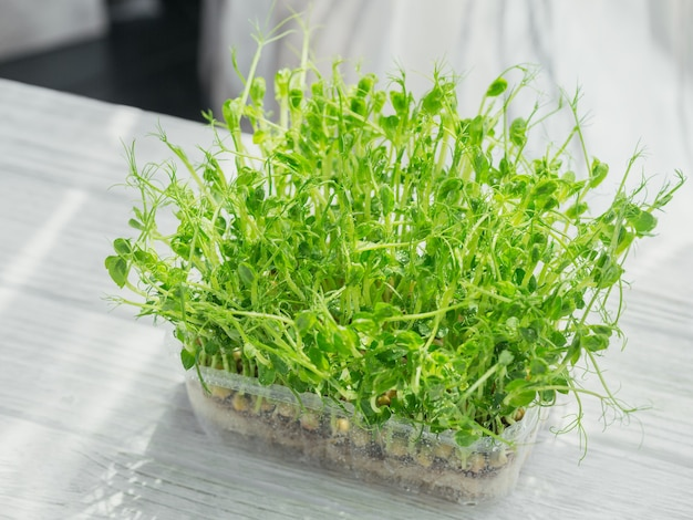 Organic pea microgreen sprouts growing in a plastic box in white background. frash raw sprouts, micro greens, healthy food concept