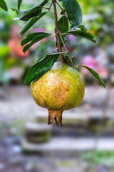 유기농 석류 열매는 정원에 있는 나무에 가까이 있다