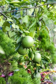 집 정원에 있는 나뭇가지에 선별적인 초점을 맞춘 유기농 생 오렌지 과일