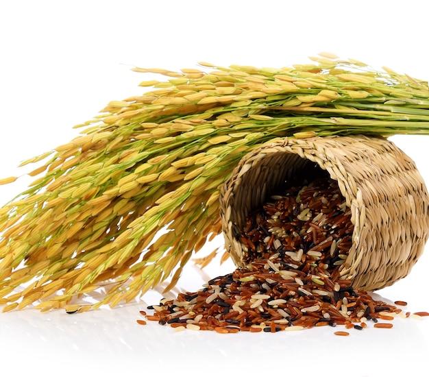 유기농 쌀 또는 고립 된 논 귀에.