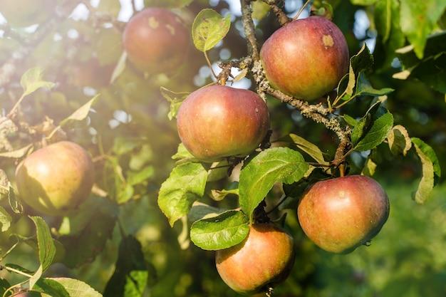 Органические спелые яблоки, свисающие с ветки дерева в яблоневом саду. фото крупным планом