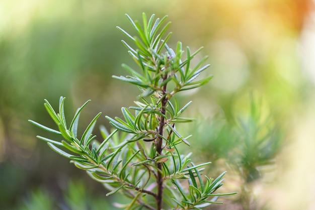 Органическое растение розмарина для экстрактов эфирного масла