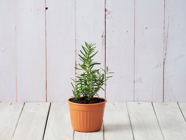 Organic rosemary planted in pots placed on a white wooden floor with a copy area.