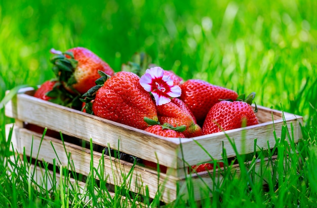 Organic strawberries in a box on grass background