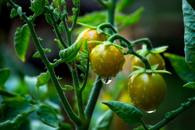 Organic tomato plant growing in greenhouse fresh bunch of red natural tomatoes on plant