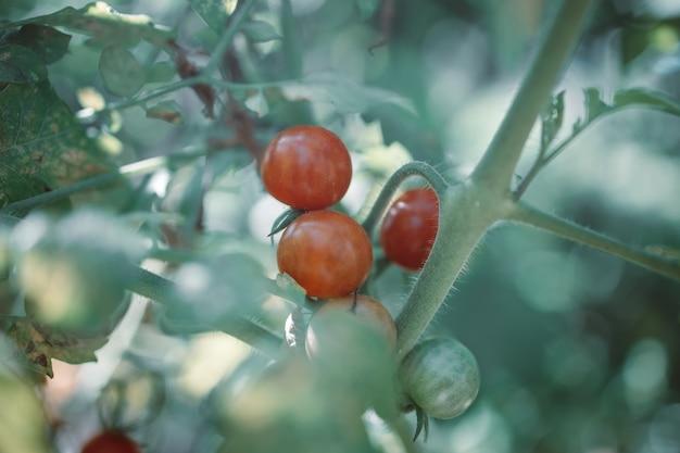 有機野菜の庭のクローズアップで有機トマト植物の赤と緑のトマト
