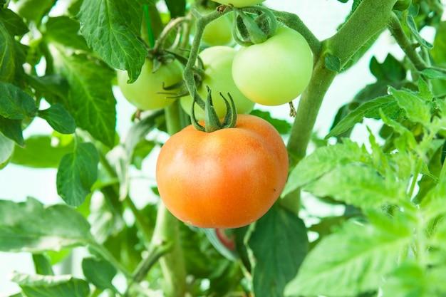 온실에서 유기농 토마토