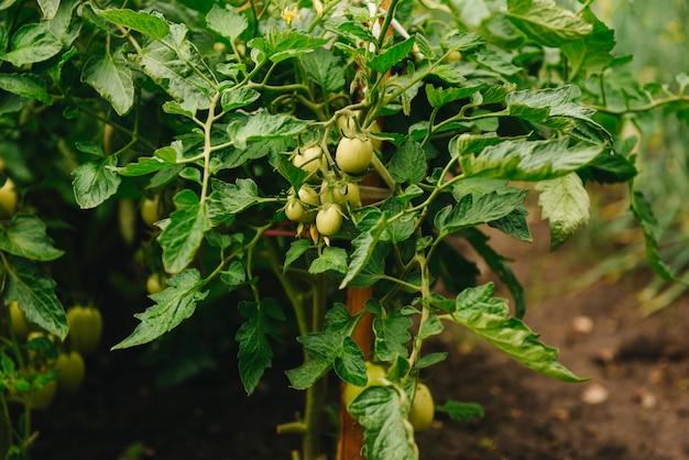 Органические томаты зрея в солнечном свете outdoors в саде общины. ряд связанных помидоров