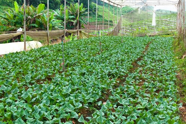 Органические овощные фермы, сельское хозяйство будущего для безопасных пищевых продуктов в северном таиланде