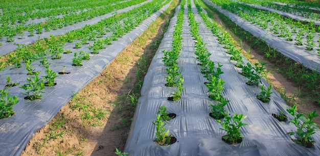 Organic vegetable farm, leaves on the field concept of biological production in agriculture sunny day.