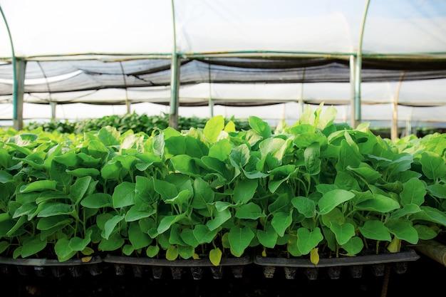 温室内の有機野菜。