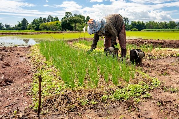 농장을 위한 양파의 하늘 배경 원예에 있는 시골의 유기농 야채와 농부