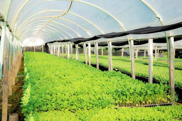 タイの陽射しが差し込む温室の中で、有機野菜が栽培されています。