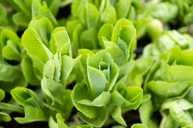 Organic vegetables for good health