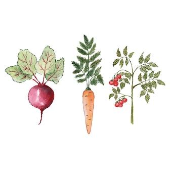 Органические овощи, свекла, морковь и помидоры, акварель, нарисованная на белом