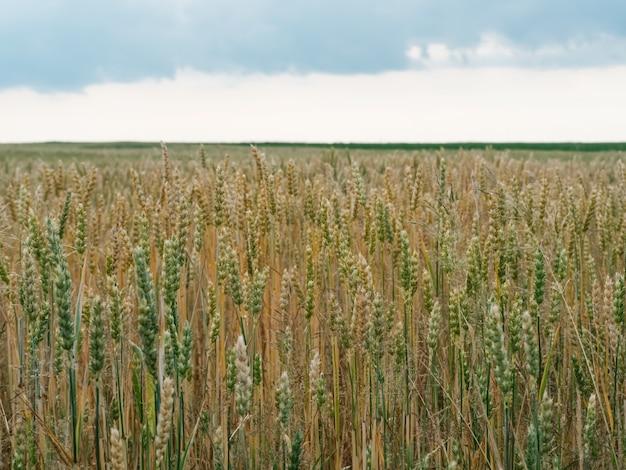 곡물이 들어있는 유기농 밀 이삭. 풍부한 수확의 개념. 농촌 분야에 밀의 녹색과 노란색 귀. 농업 밀 낟 알 질감. 곡물 재배 농업 분야.