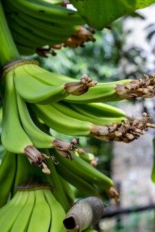 Органический молодой банановый букет крупным планом в саду
