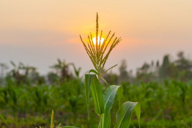 Organic young corn field at agriculture farm in the evening sunset