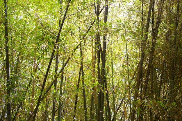 Foresta di bambù orientale alla luce del giorno