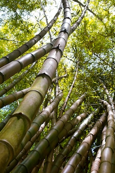 Oriental bamboo forest in daylight
