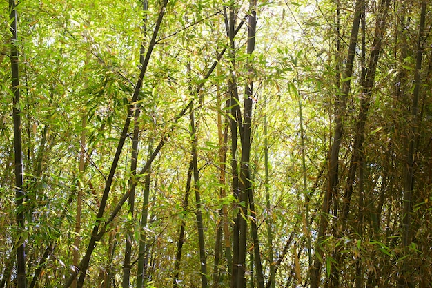 日光の下で東洋の竹林