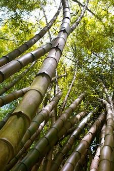 일광에 동양 대나무 숲