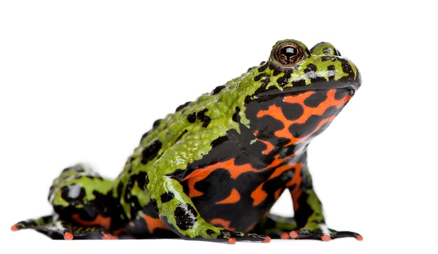 Oriental fire-bellied toad, bombina orientalis, on white isolated