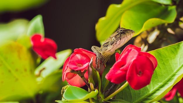 タイの赤いユーフォルビア美しい花のオリエンタルガーデントカゲ