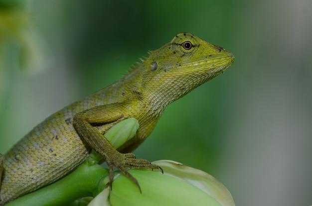 Oriental garden lizard sitting on tree bark