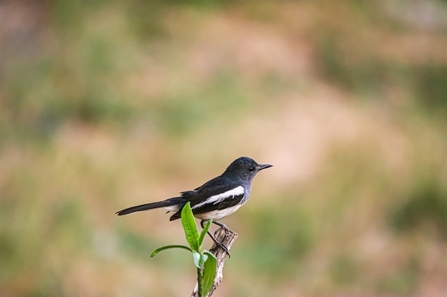 Oriental magpie robin the beautiful bird,