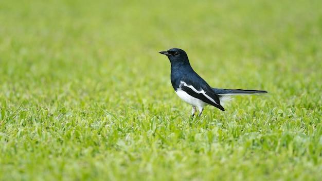오리엔탈 까치 로빈 새, 흑백 새가 풀밭에서 곤충을 찾고 있습니다.