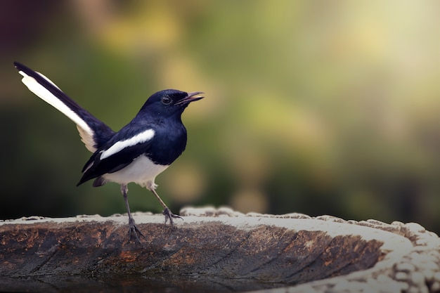 太陽の光で鳥肌を照らす東洋カサブロバ(鳥)。スペースをコピーする