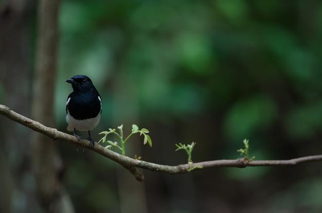 동양 까치 로빈 새는 나무에 자리 잡고