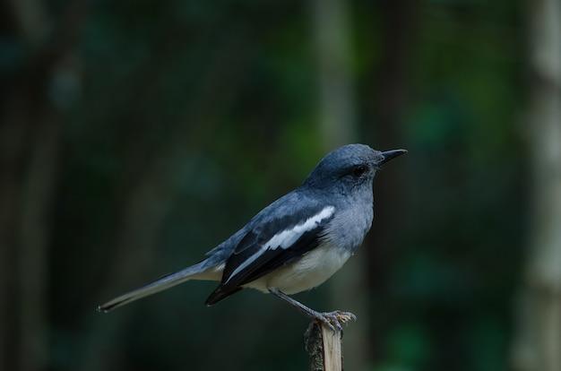 Oriental magpie robin (copsychus saularis) on branch