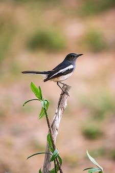 동양 까치 로빈 아름다운 새