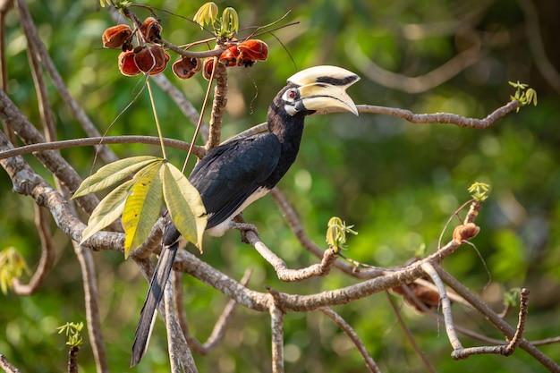 Oriental pied hornbill (anthracoceros albirostris) at kaeng krachan national park