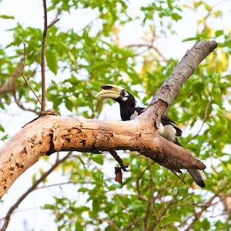 Oriental pied hornbill, anthracoceros albirostris